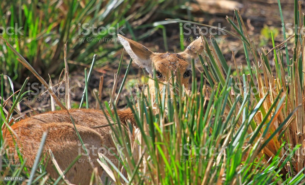 Reed Buck hiding behind tall grass stock photo