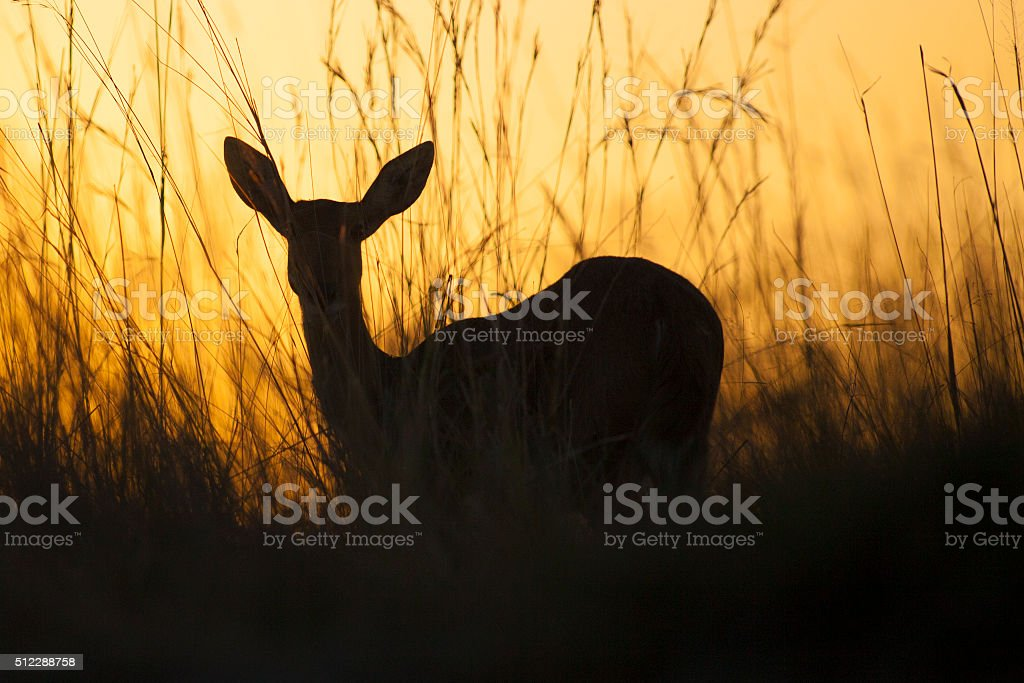 Reed buck in long grass stock photo