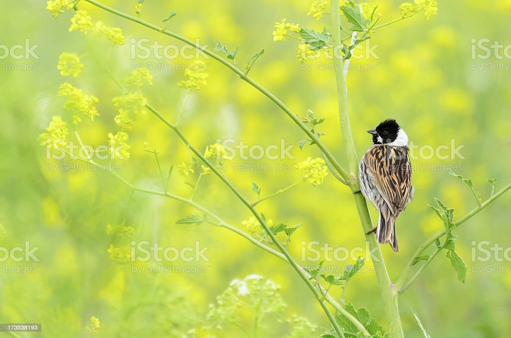 Reed Bunting, against yellow background royalty-free stock photo