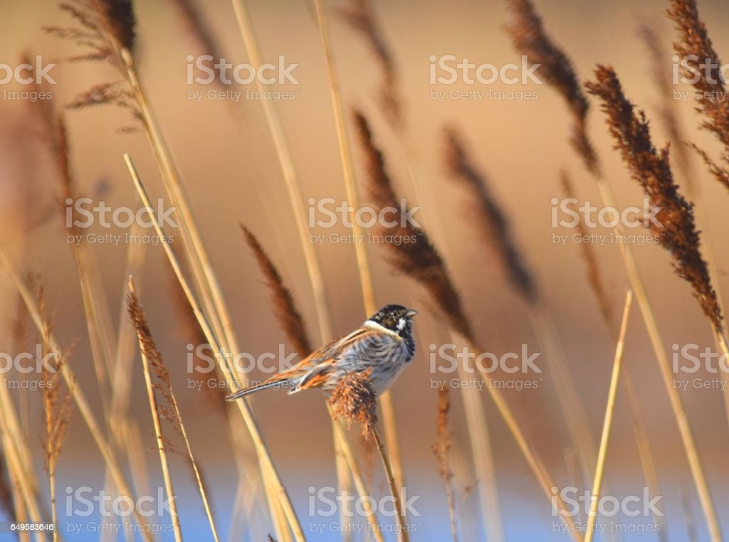 Reed Bunting Bird In Reeds Along Wet Land Stock Photo Download Image Now Istock