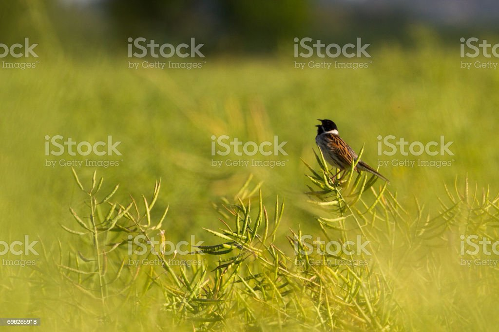 Reed Bunting (Emberiza Schoeniclus) perched in rapeseed field stock photo