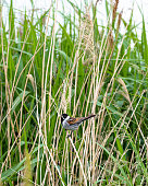 Reed Bunting Perched in reeds With Spider in its Beak