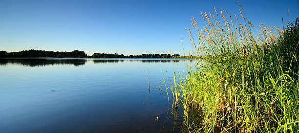reed by calm lake under blue sky in summer landscape - lakeshore stock photos and pictures