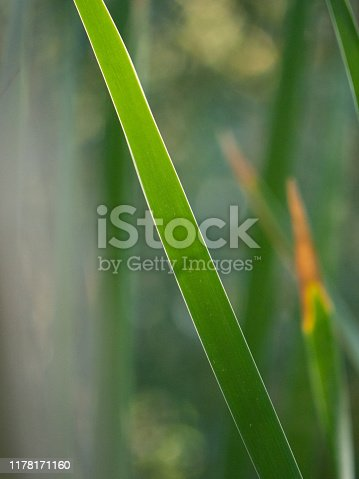 Reed Close Up Diagonal green line abstract
