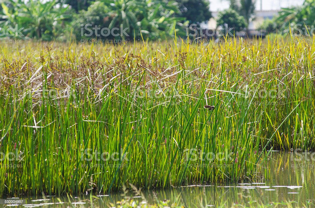 Reed field in swamp stock photo