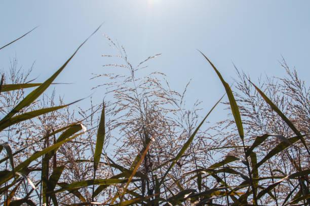 Reed field. stock photo