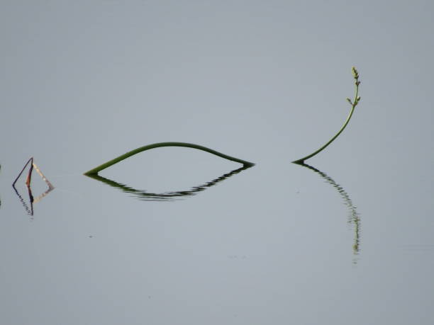 reed fish - dianna dann narciso stock pictures, royalty-free photos & images