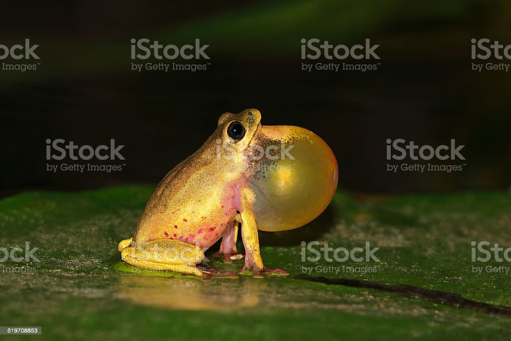 Reed frog calling stock photo
