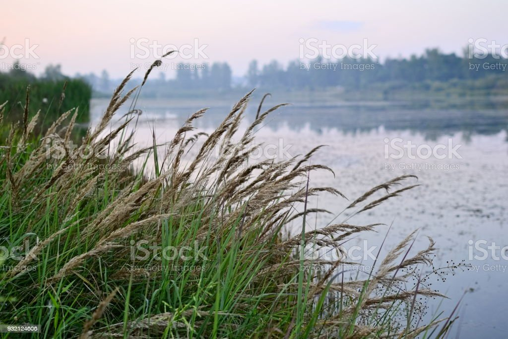 Reed grass along the lake on sunset stock photo
