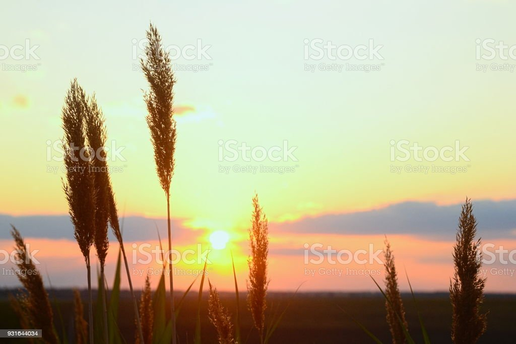 Reed grass close-up on sunset light stock photo