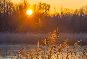 Reed in a field along a frozen lake at sunrise in winter