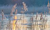 Reed in a field along a frozen lake at sunrise in winter