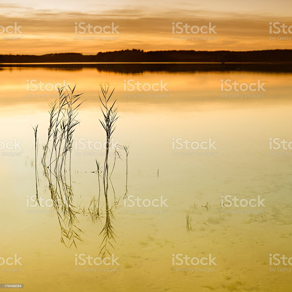 Reed in Calm Lake amongst the Woods at Sunset royalty-free stock photo