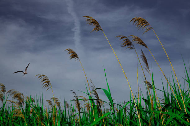 Reed in the Wind stock photo