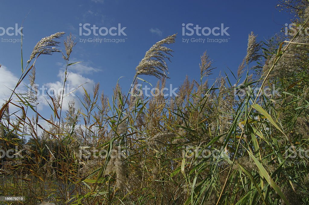 Reed in the wind royalty-free stock photo