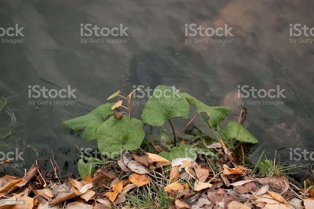 Reed is autumn on a background water stock photo