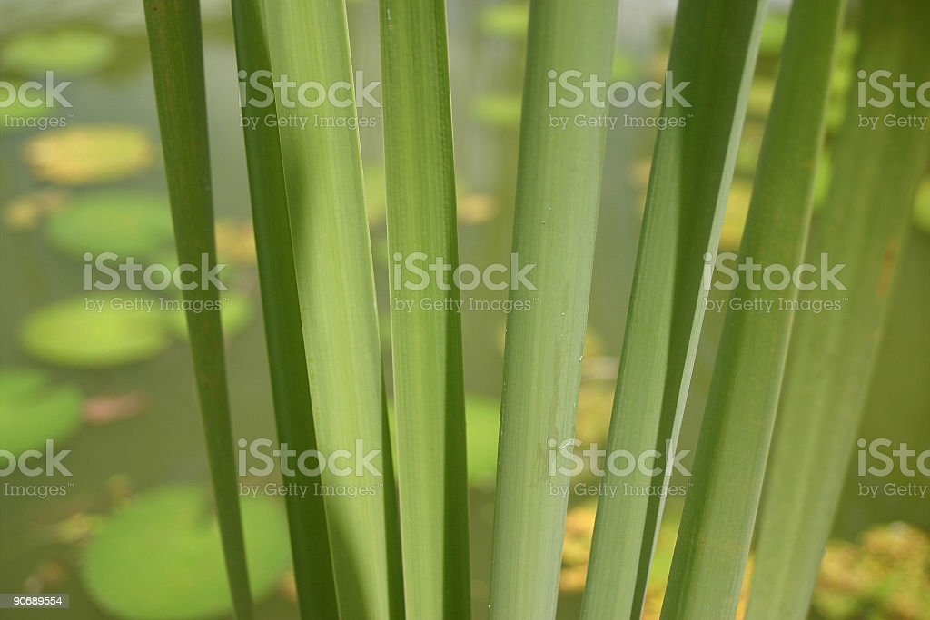 Reed leaves and pond III royalty-free stock photo