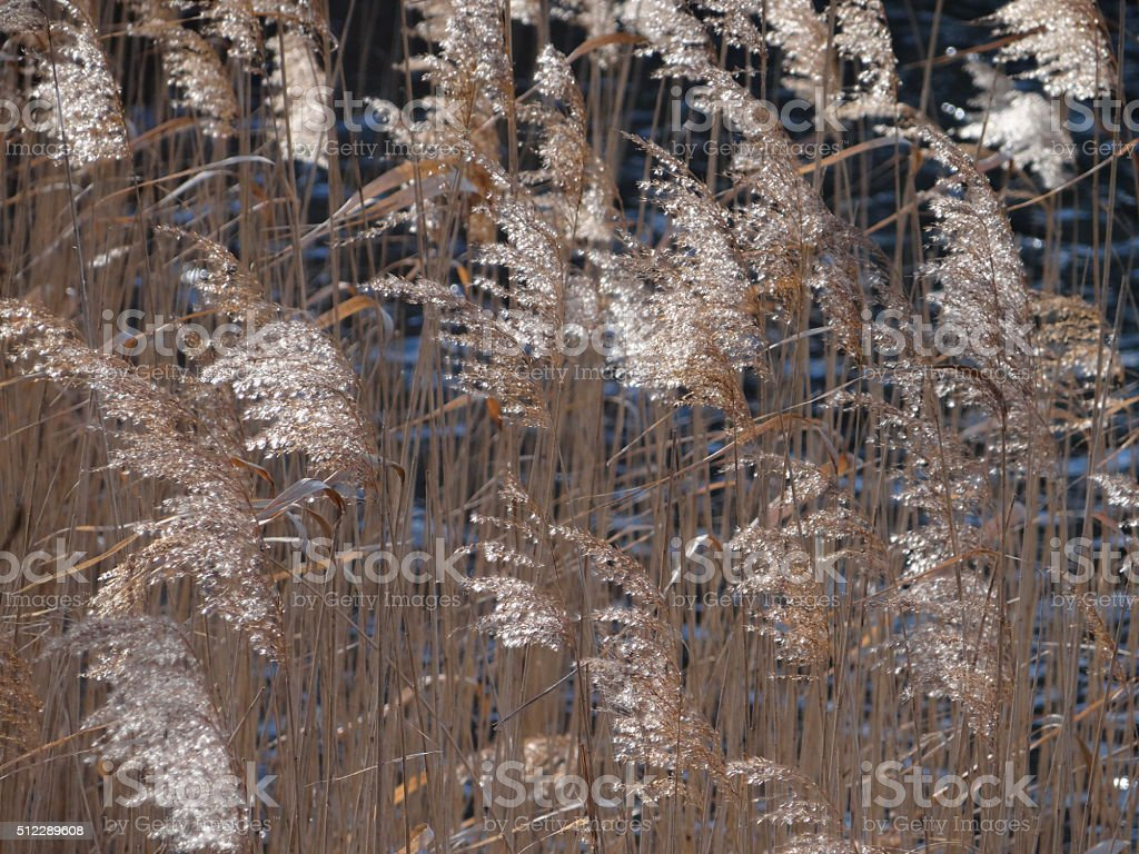 Reed on a lake stock photo