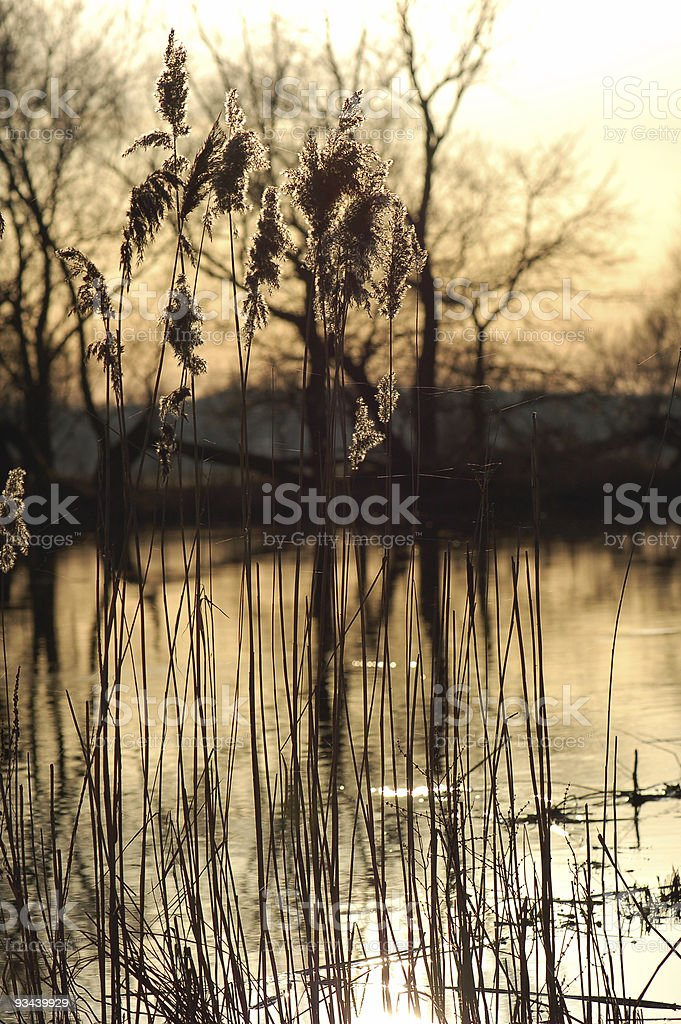 reed on havel river in sunset light stock photo
