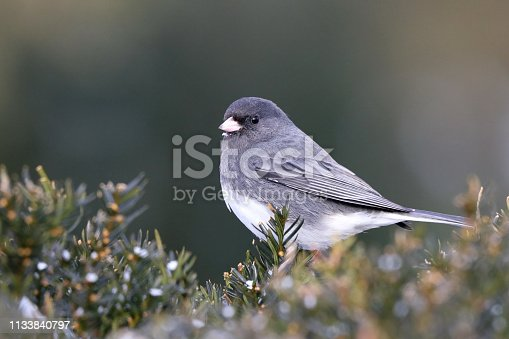 A junco that flew in looking for food.