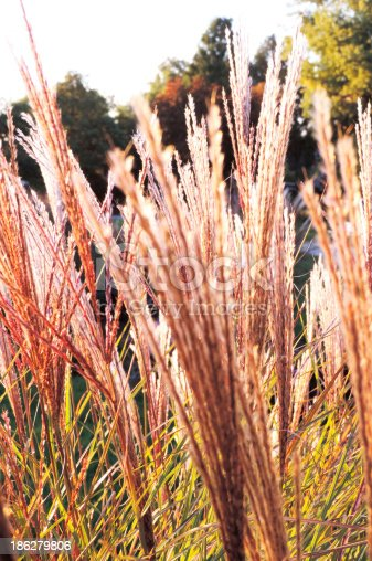 istock Reed 186279806