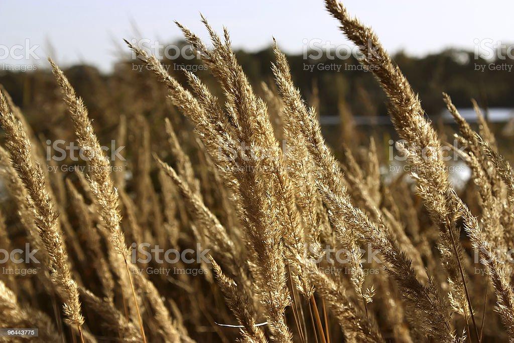 reed - Royalty-free Autumn Stock Photo