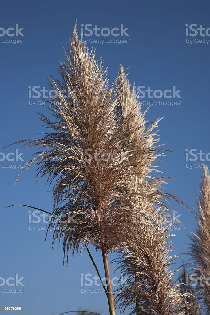 Reed foto stock royalty-free