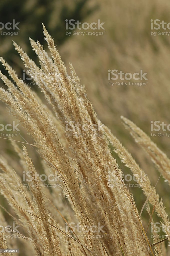 Reed (Grass Family) royalty-free stock photo