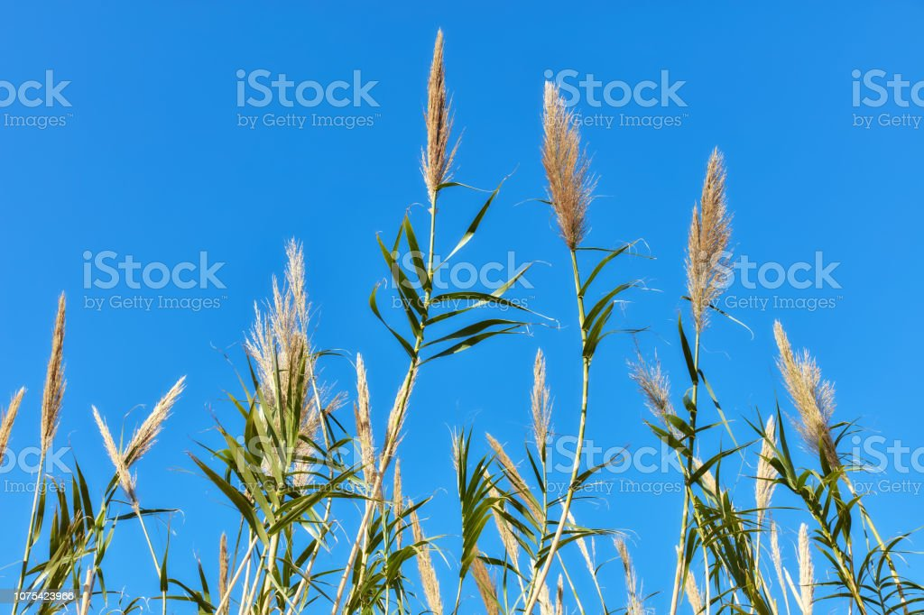 Reed plant and blue sky stock photo