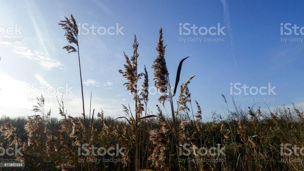 Reed-Federn – Foto