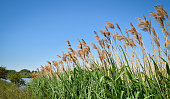 istock Reed plumes standing out against blue sky 1271179637