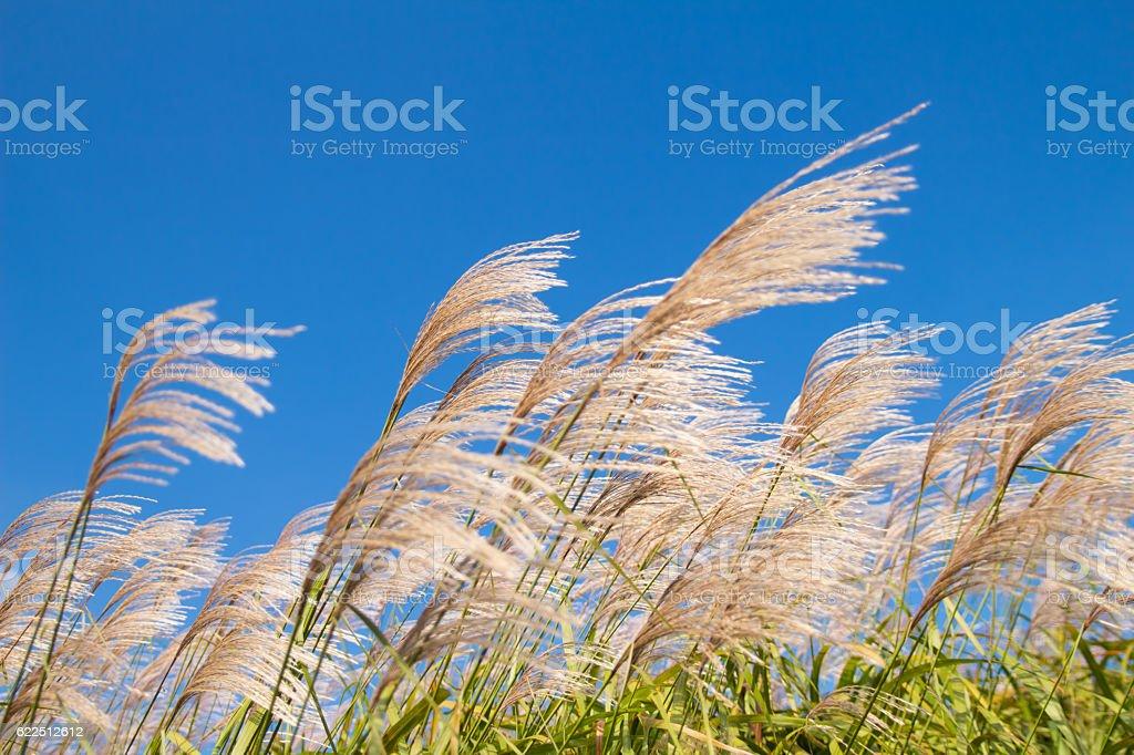 reed / reed marsh stock photo