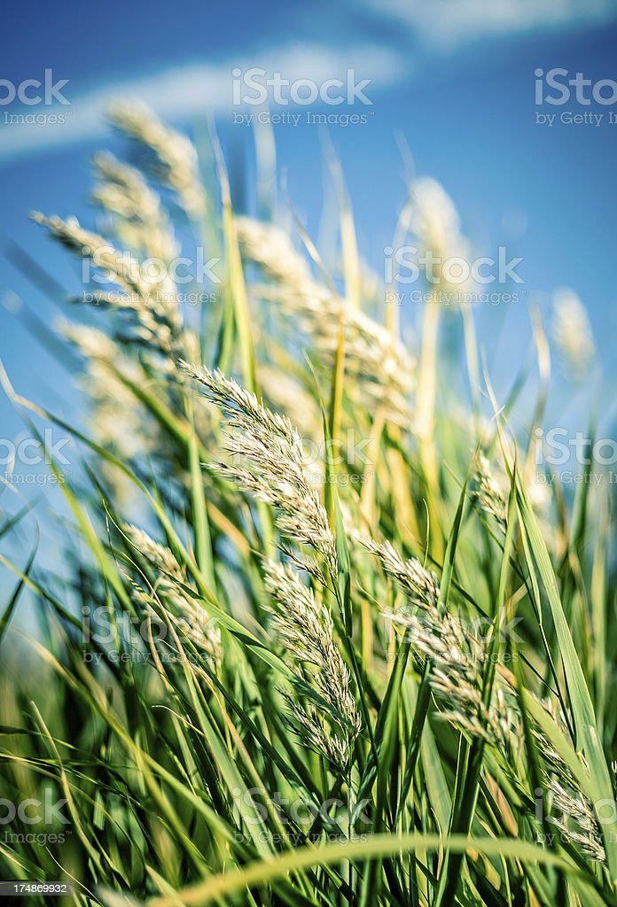 Reed shaked by wind royalty-free stock photo