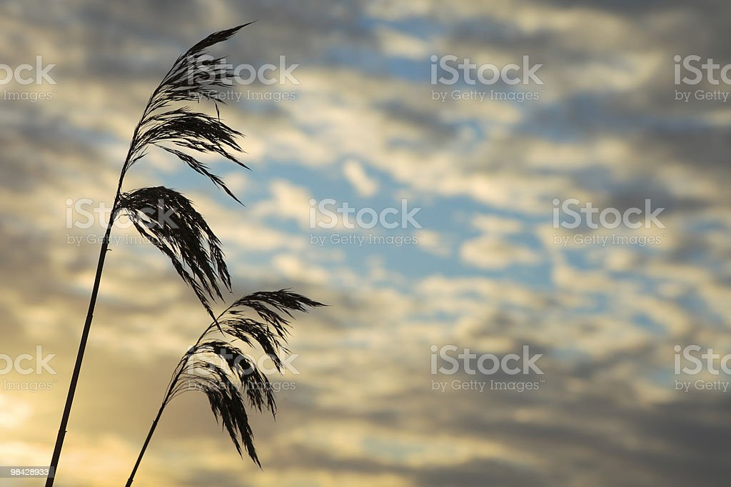 Reed silhouettes royalty-free stock photo