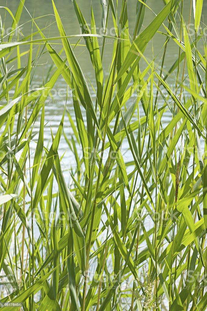 reed stems royalty-free stock photo