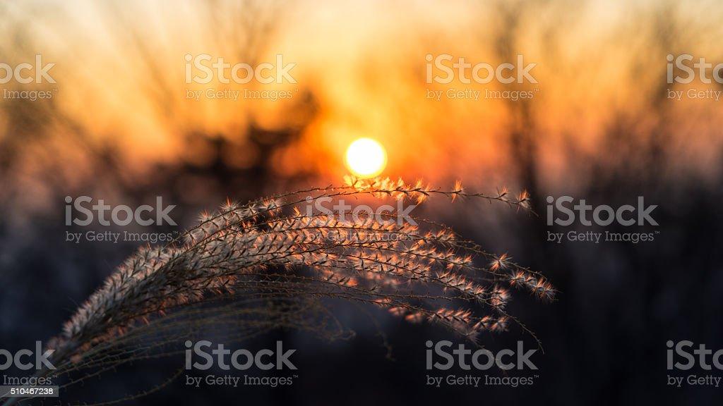 Reed / Sunset / Seoul / Korea stock photo
