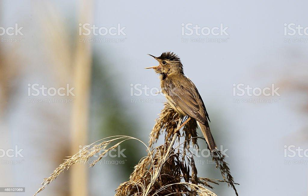 Reed warbler, Acrocephalus scirpaceus, stock photo