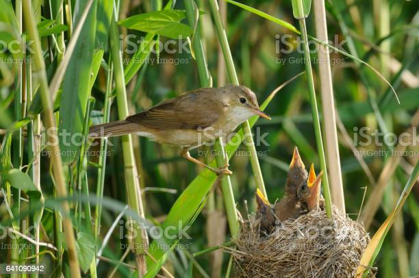 Reed warbler at the nest picture id641090942?b=1&k=6&m=641090942&s=612x612&h=wgkebl5mxgbbftjmovsf6ggmudn20x kgdzymhpwero=