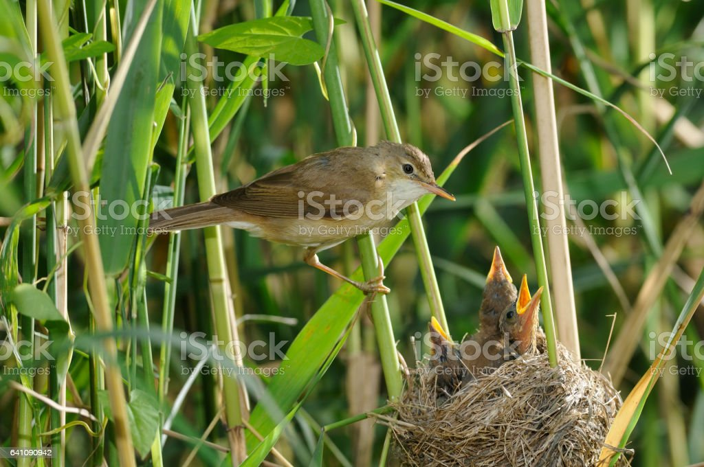 reed warbler at the nest stock photo