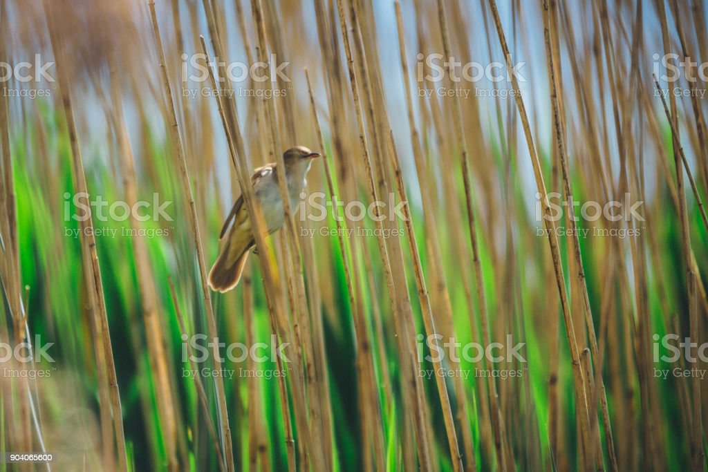 Reed Warbler by the lake in spring stock photo