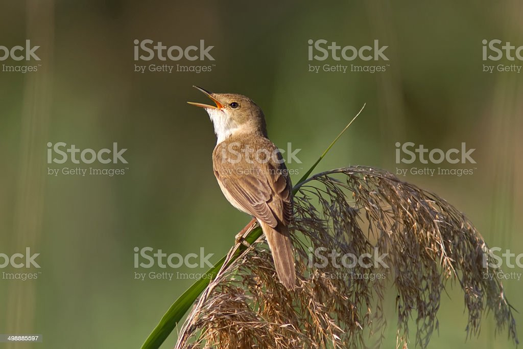 Reed Warbler On The Reed stock photo