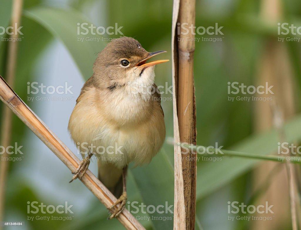 Reed Warbler (Acrocephalus scirpaceus) stock photo