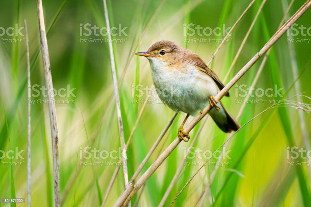 Reed Warbler stock photo