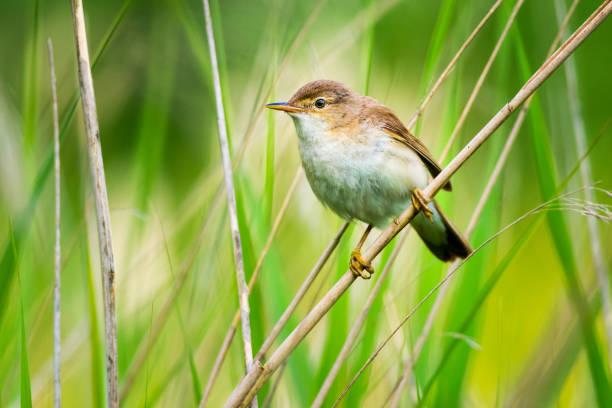 karekiet - zanger vogel stockfoto's en -beelden