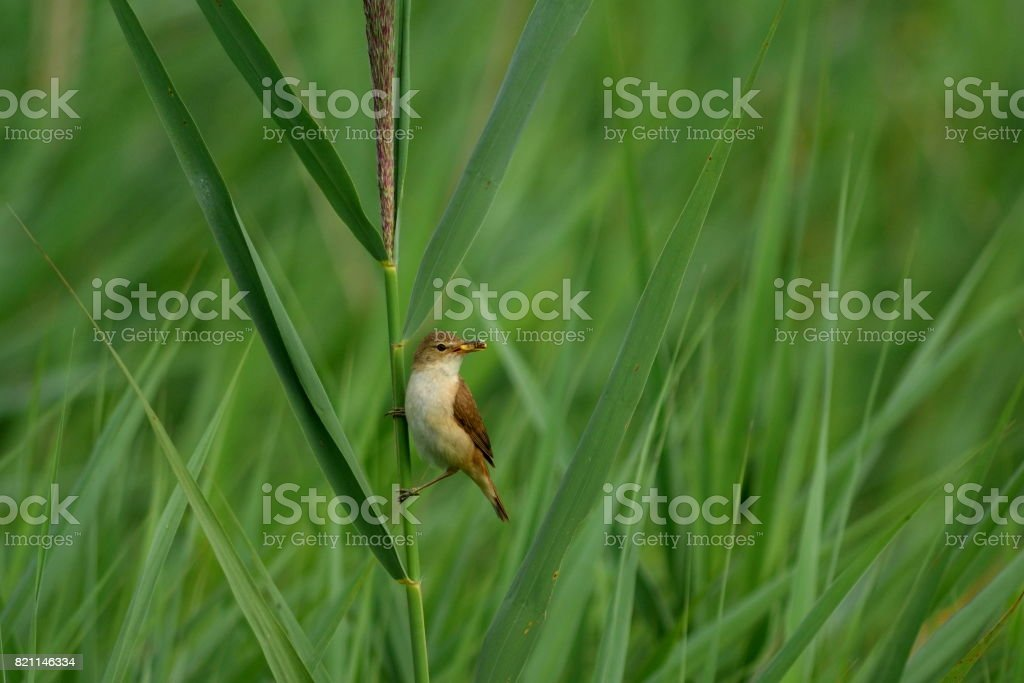 Reed warbler with food in beak stock photo