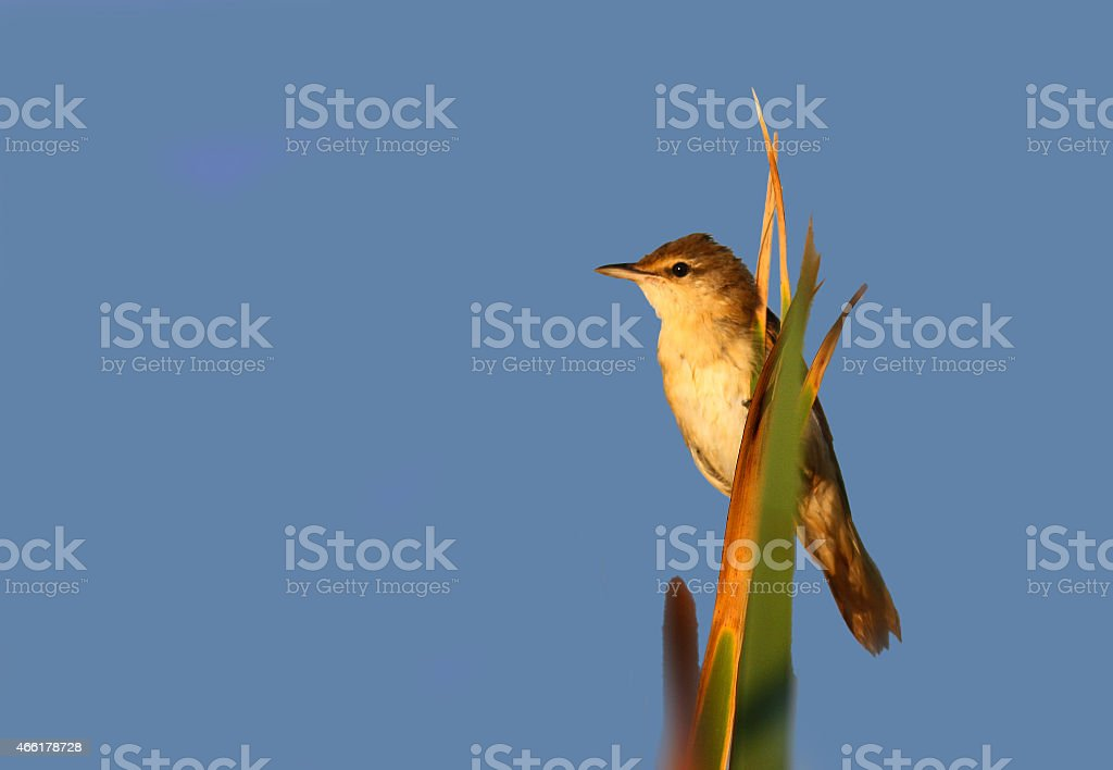 Reed warler perch on reed stock photo