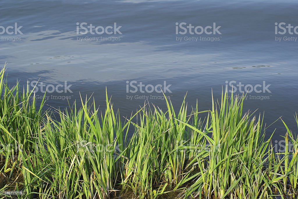Reed wave sunlight royalty-free stock photo
