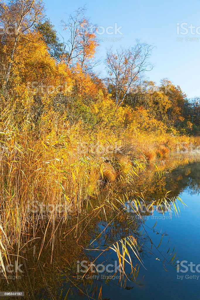Reedbed at the waters edge in autumn royalty-free stock photo