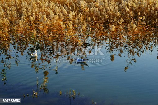 Reeds and pigeons
