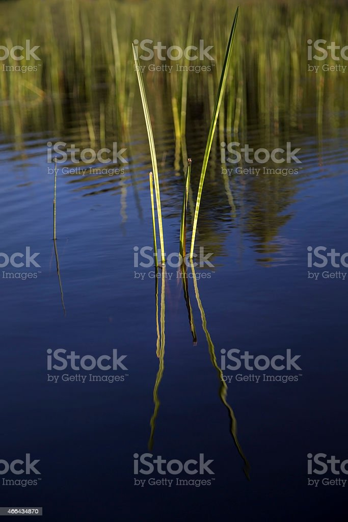 Reeds and reflection in still water stock photo